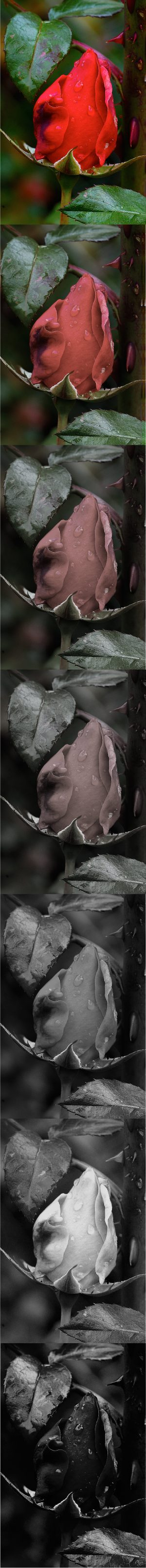 Vertical Roses 1